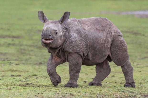 Bromsgrove Advertiser: Indian rhino calf Inesh is nearly six months old! Photo by Matthew Lissimore