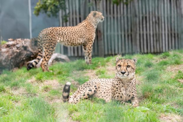 Bromsgrove Advertiser: New arrivals, brothers Azrael and Bappe, will live in the new cheetah enclosure as part of the Safari Lodges development
