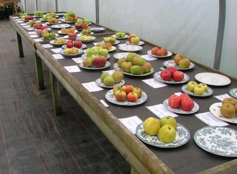 Different of apple varieties on display at the Hanbury Hall and gardens Apple Day. Image property of National Trust.