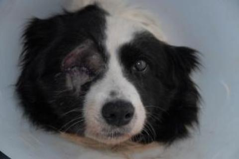Reward: Kiri, the eight-year-old collie, viciously attacked and injured trying to protect a Stoke Prior home. Ref:s