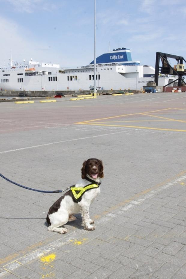 Crime fighting: Ralph, the English springer spaniel who has begun a crime fighting life in Ireland. Ref:s