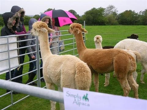Magic charity: Alpacas were among the animals who visitors saw at the Animals R Magic fund-raiser. Ref:s