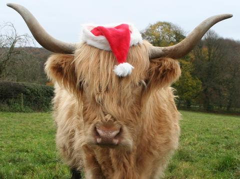 Morag the Highland cow is getting ready to wish people Happy Christmas.