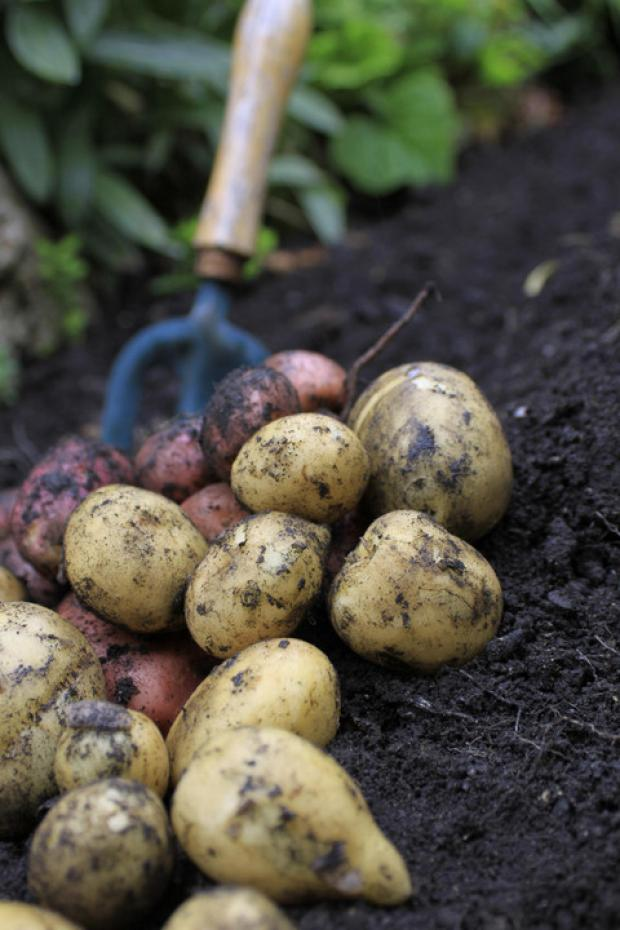 Bromsgrove Advertiser: Save our spuds