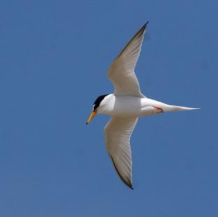 Little terns have