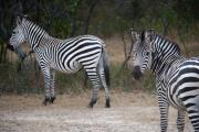 Walking on the wild side in Zambia