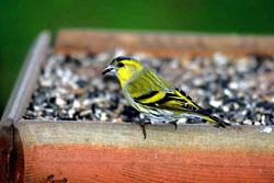 SCANDINAVIAN INVASION: The Siskin might be spotted in your garden. Photo by John Harding