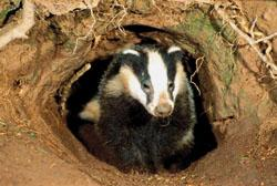 IN THE FIRING LINE: Badgers have been blamed for the spread of bovine TB.