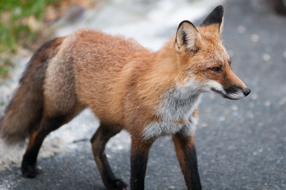 Theresa May is set to offer MPs a free vote on whether to bring back fox hunting