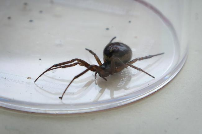 A false widow spider. Photo by PA