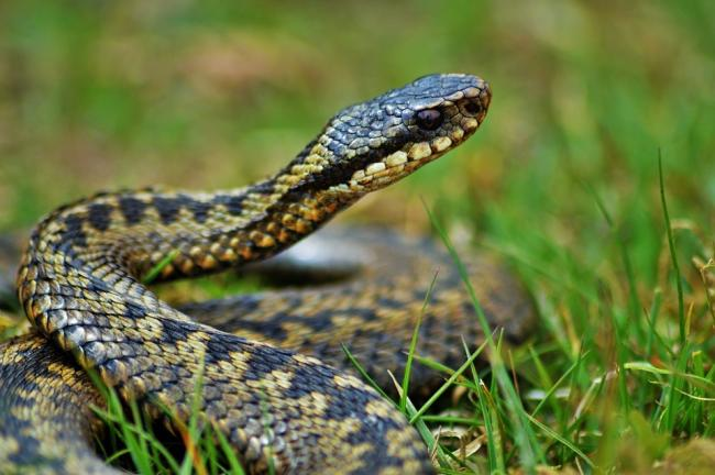 In decline: The adder is protected under the Wildlife and Countryside Act