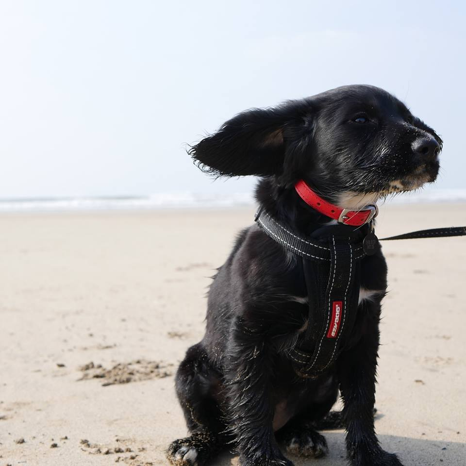 Advertiser and Camera Club member Leanne Jayes took this picture of Jessie, her 13 week old Sprocker puppy on her first beach trip at Westward Ho! last Saturday.